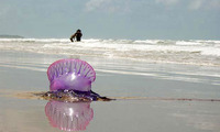 Article_list_portuguese-man-o-war