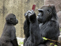 Hot_content_gorilla-playing-3ds