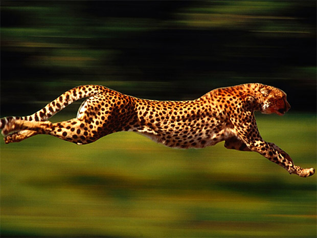 Cheetah Speed in Sim City