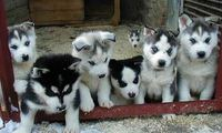 Article_list_husky_puppies