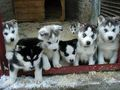 Hot_content_husky_puppies