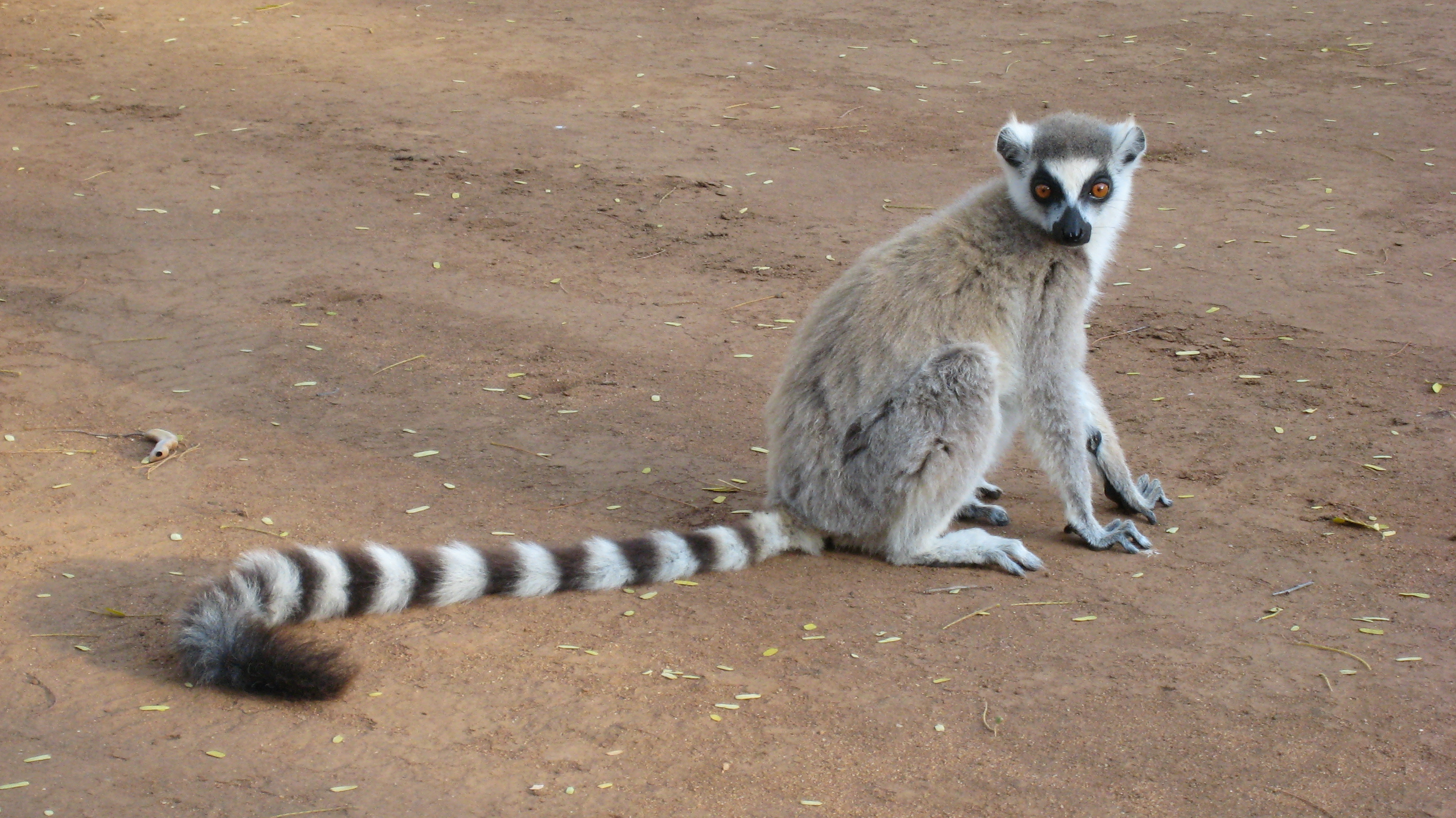Lemur Pokemon