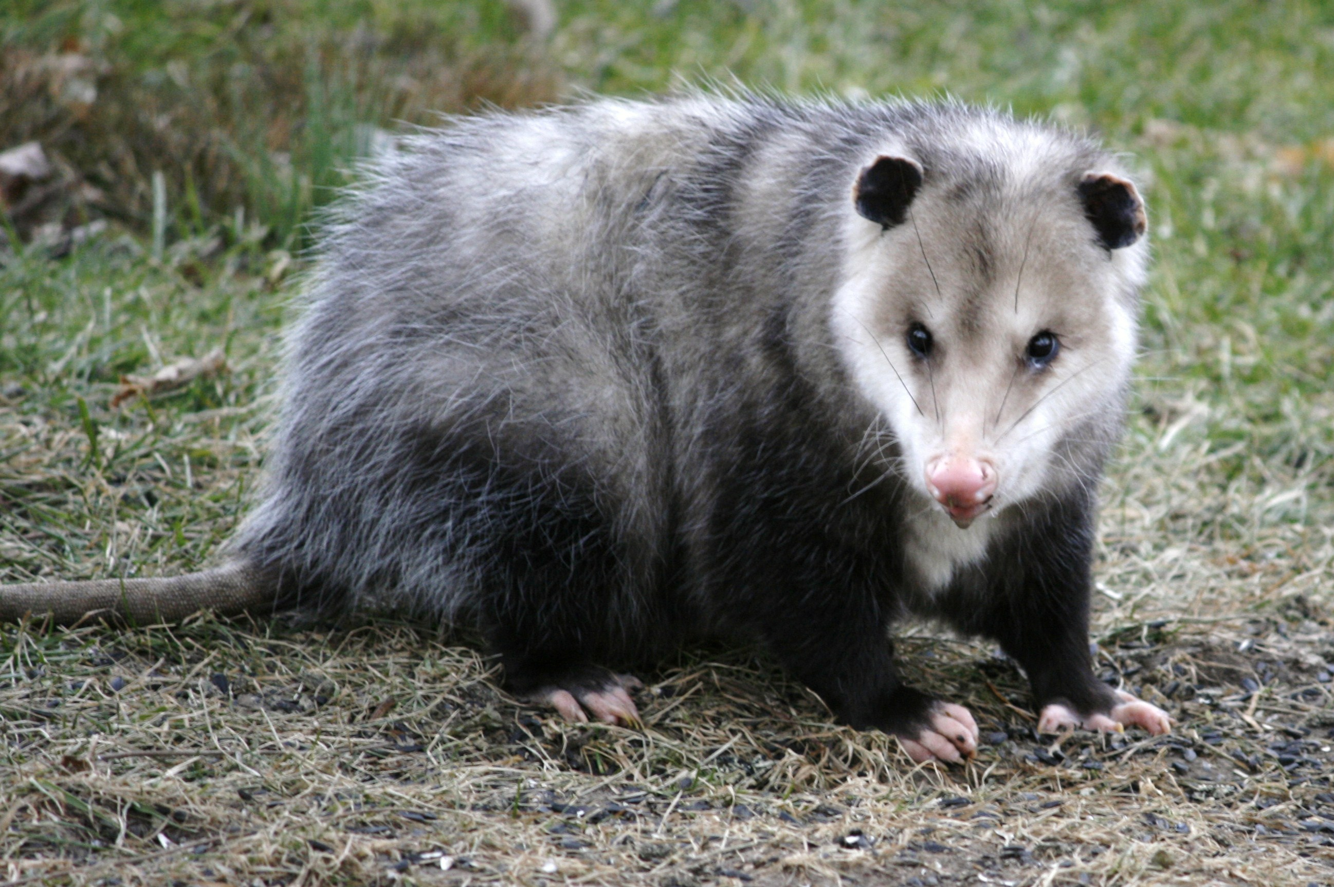 Possum Pokemon