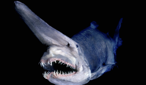 Goblin Shark Pokemon