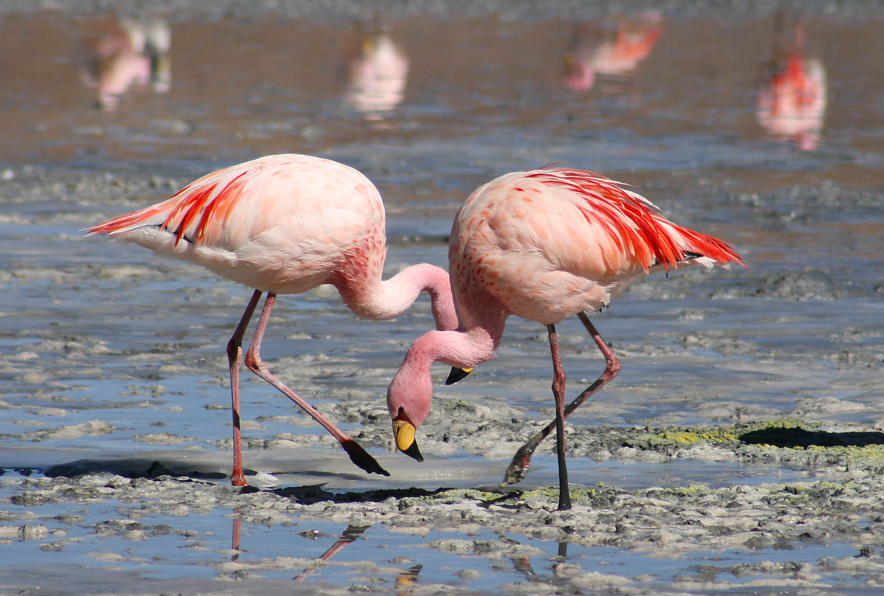 Flamingo Pokemon