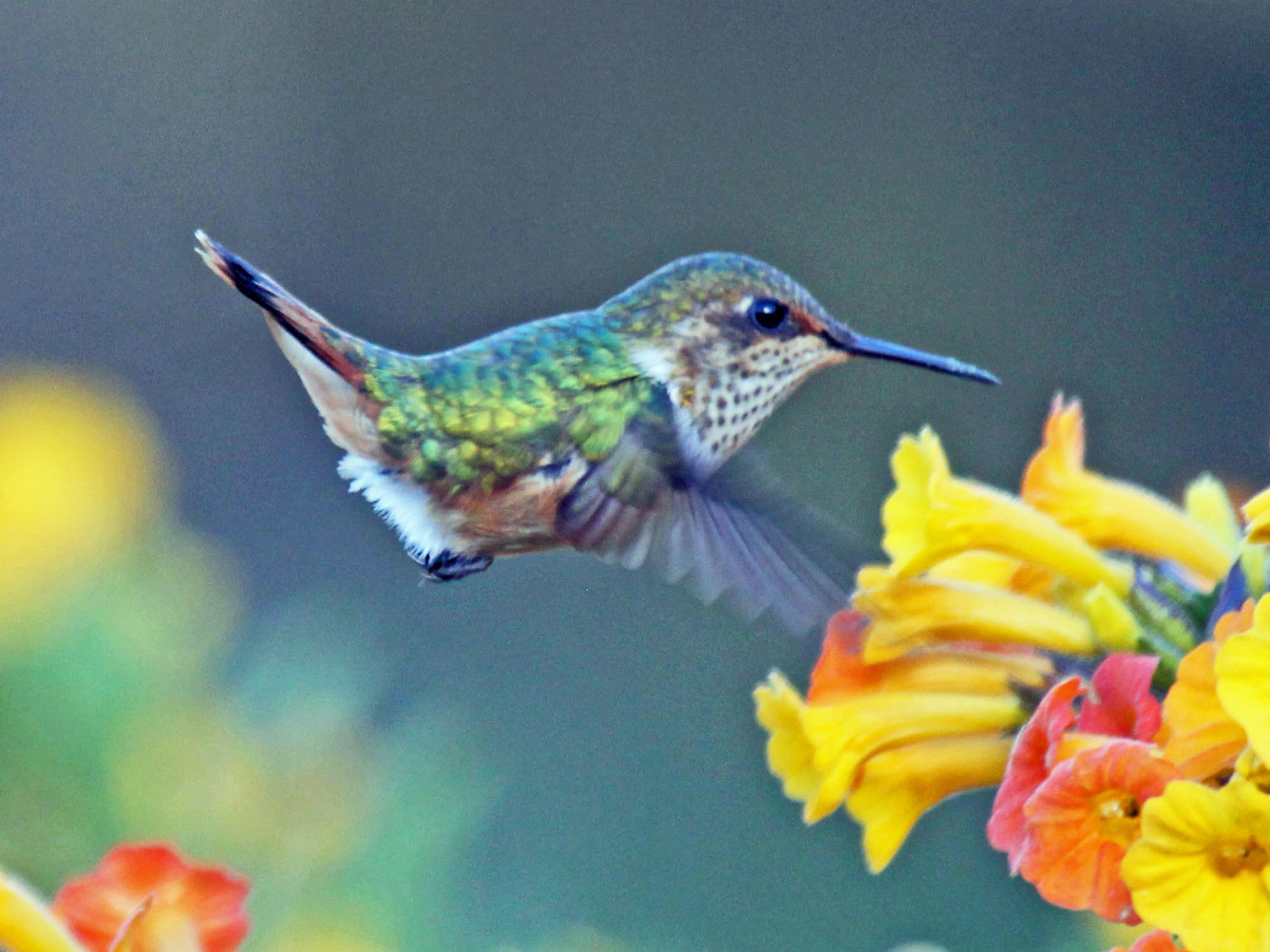 Hummingbird Pokemon