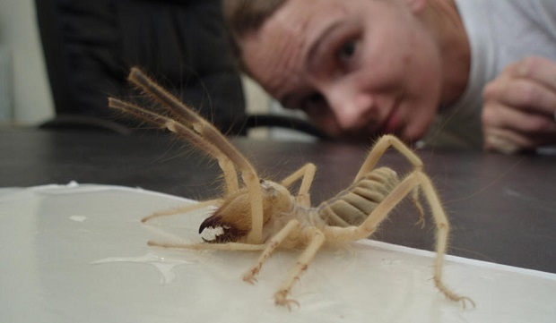 giant camel spider