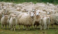 Article_list_sheep